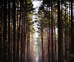 forest, pines, and trees image
