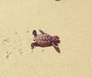 animal, baby turtle, and sand image
