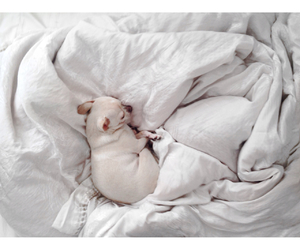 bed, chihuahua, and like image