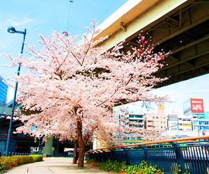 japan, cherry blossom, and tree image