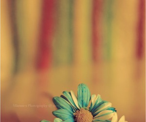 daisy, flowers, and colors image