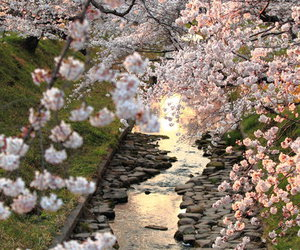 cherry blossom, river, and water image