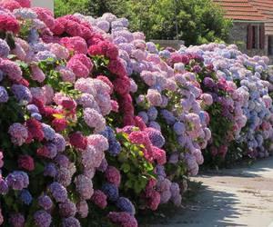 hydrangea, beautiful, and flowers image
