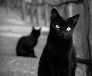 cat, black cat, and black and white image