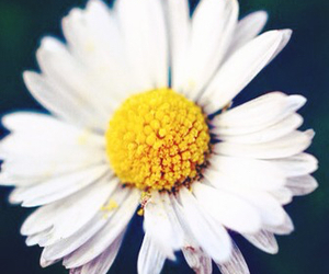 flowers, daisy, and hipster image