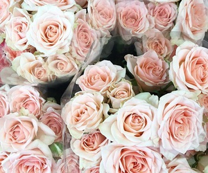 rose, blooms, and flowers image
