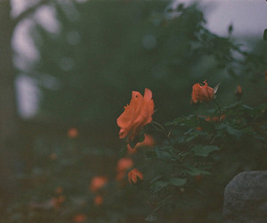 color, flower, and rose image