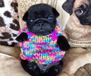 dog, cute, and pug image