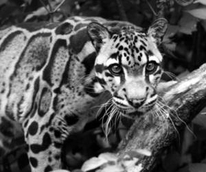 jaguar, jungle, and photography image