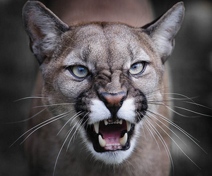 beauty, angry cat, and big cat image