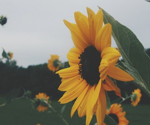 flowers, beautiful, and sunflower image