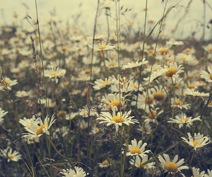 daisy, flowers, and vintage image
