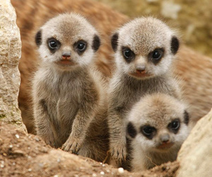 animal, meerkat, and baby image