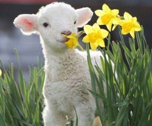 daffodils, lamb, and spring image