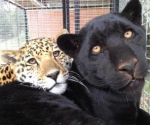 animal, leopard, and panther image