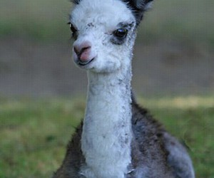 adorable, llama, and animals image