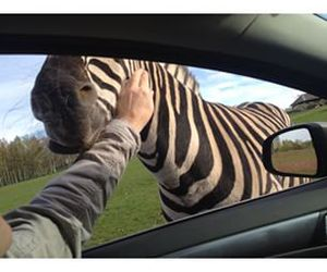car, fun, and zebra image