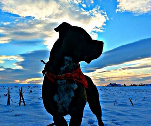 pit bull, snow, and winter image