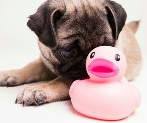 pug, cute, and pink image