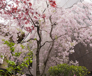 cherry blossoms, flowers, and trees image