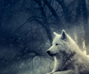 wolf, animal, and white image