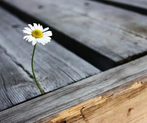 flower, daisy, and photography image