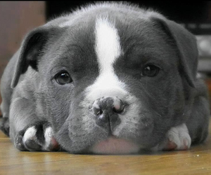 cute, pitbull, and puppy image
