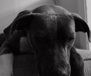 animal, black and white, and doberman image