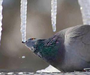 bird, ice, and pigeon image
