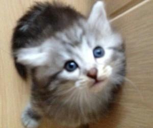 norwegische waldkatze image