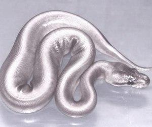 snake, silver, and animal image