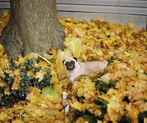 autumn, pug, and cute image