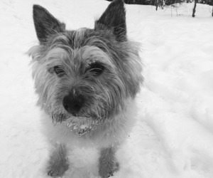adorable, norwich terrier, and cute image