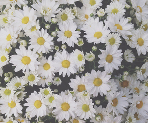 flowers, white, and daisies image