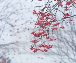 berries and winter image