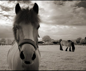 b&w, horse, and cute image