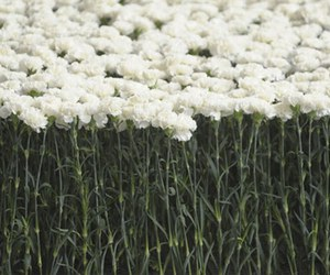 flowers and white image