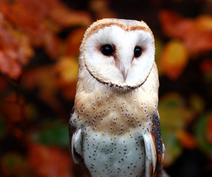 owl, autumn, and barn owl image