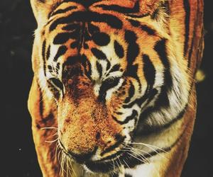tiger, animal, and lion image