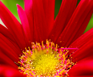 flower, red, and macro image