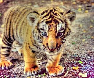 random and tiger image