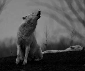 wolf, black and white, and white image
