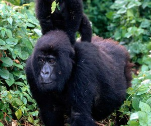animal, forest, and gorilla image