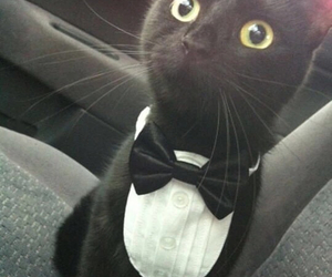 adorable, cat, and tuxedo image