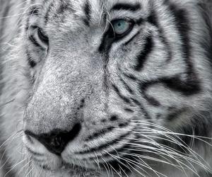 animal, black, and tiger image