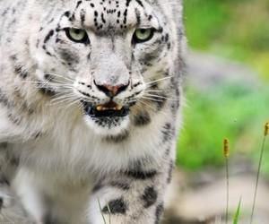 animal, nice, and panthère blanche image