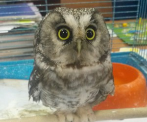 little and owl image
