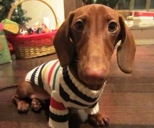 basket, dachshund, and funny face image