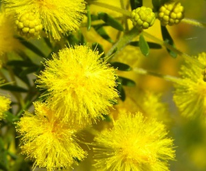 golden and wattle image