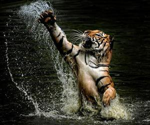 success and tiger image
